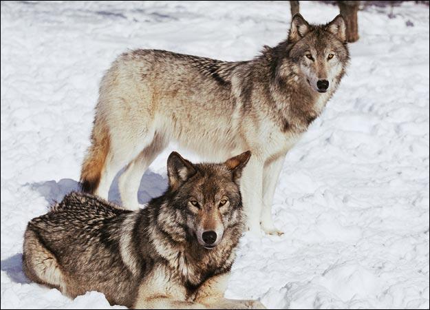 Wolf Dunia Binatang