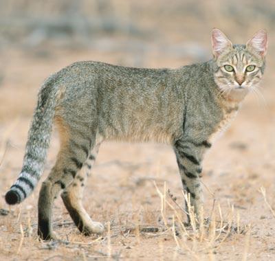 african-wildcat