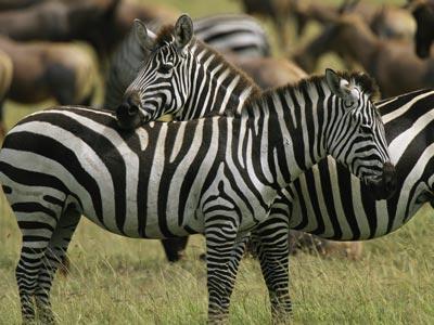 zebra-ig